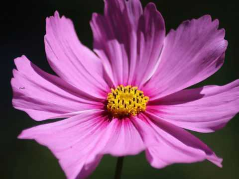 Cosmos Flower Bloom 033