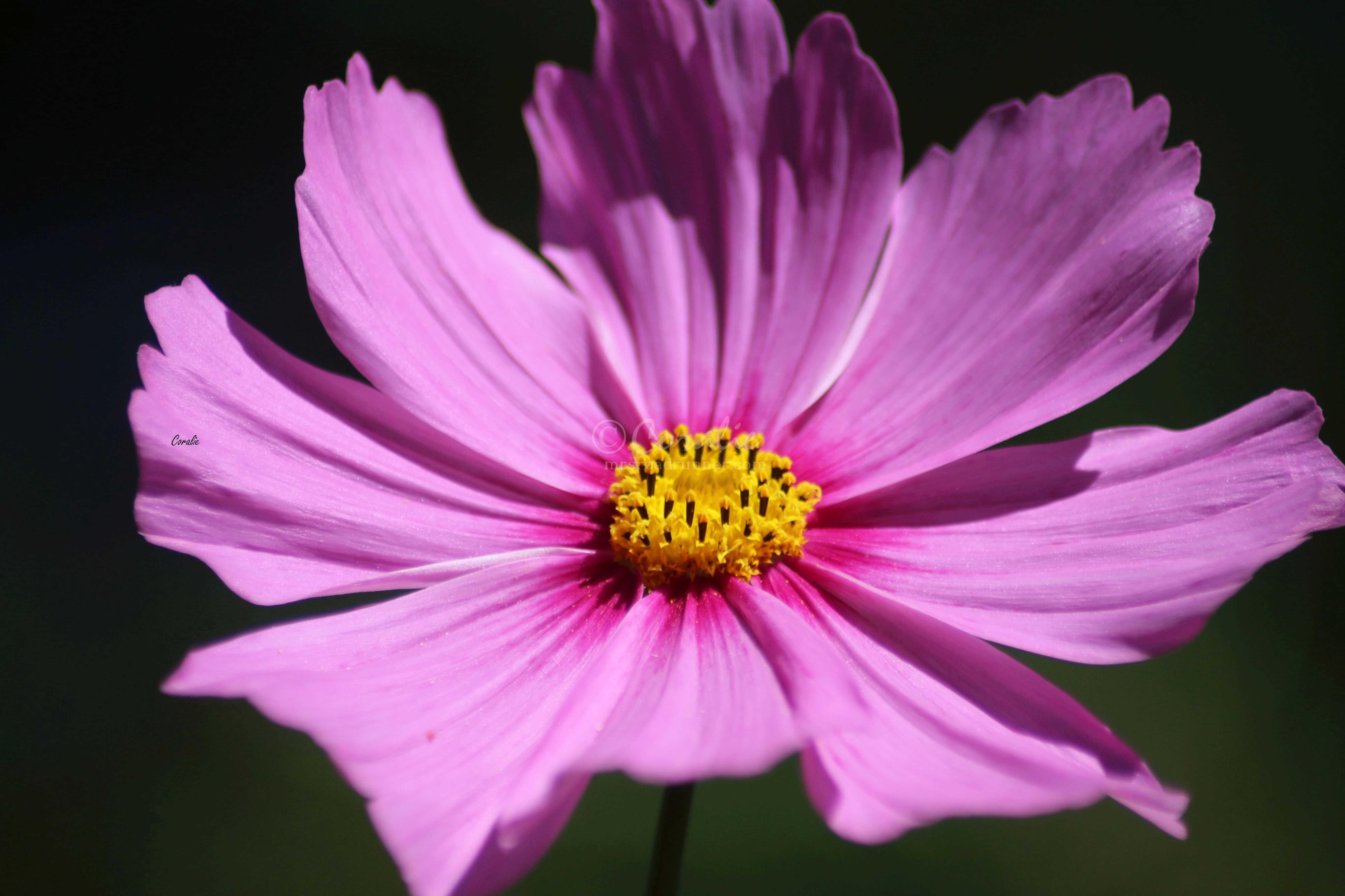 Cosmos Flower Bloom 033