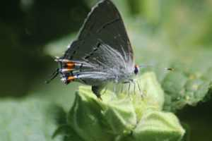 Gray Hairstreak Butterfly Laying Eggs 125